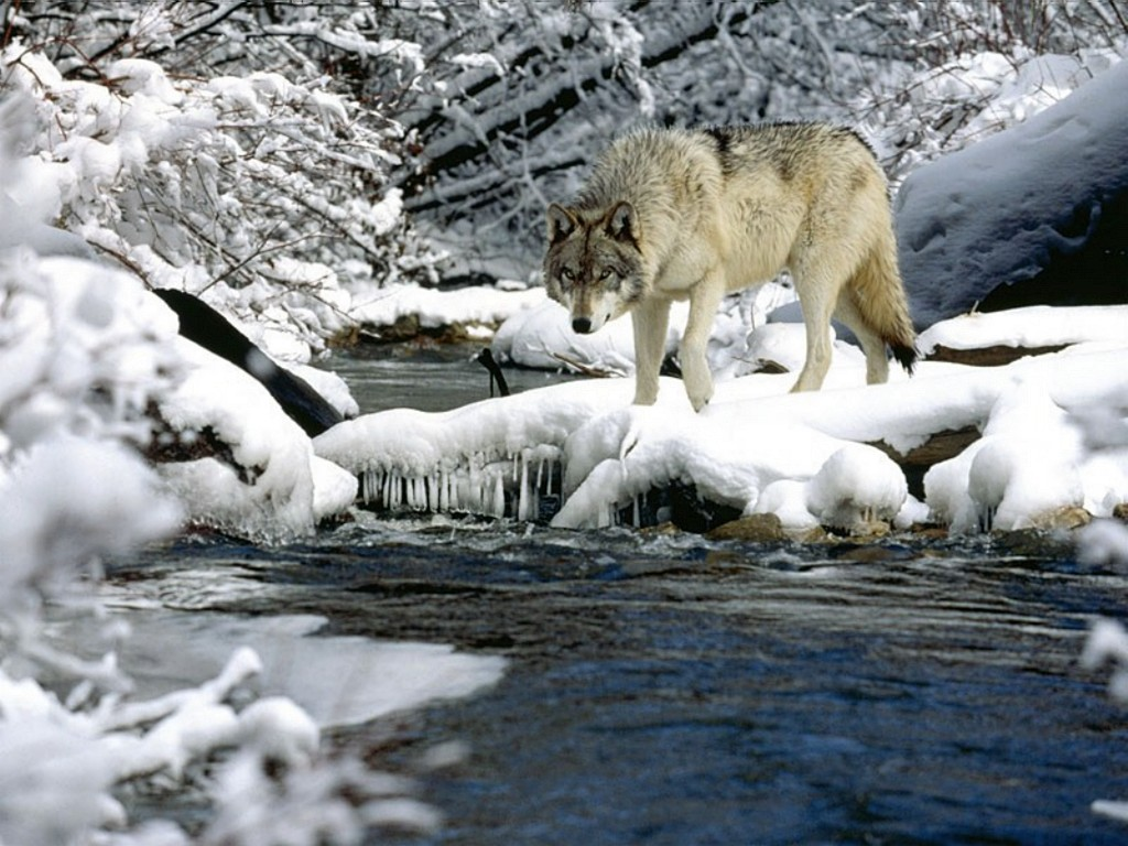 Wolf hunting in the snow