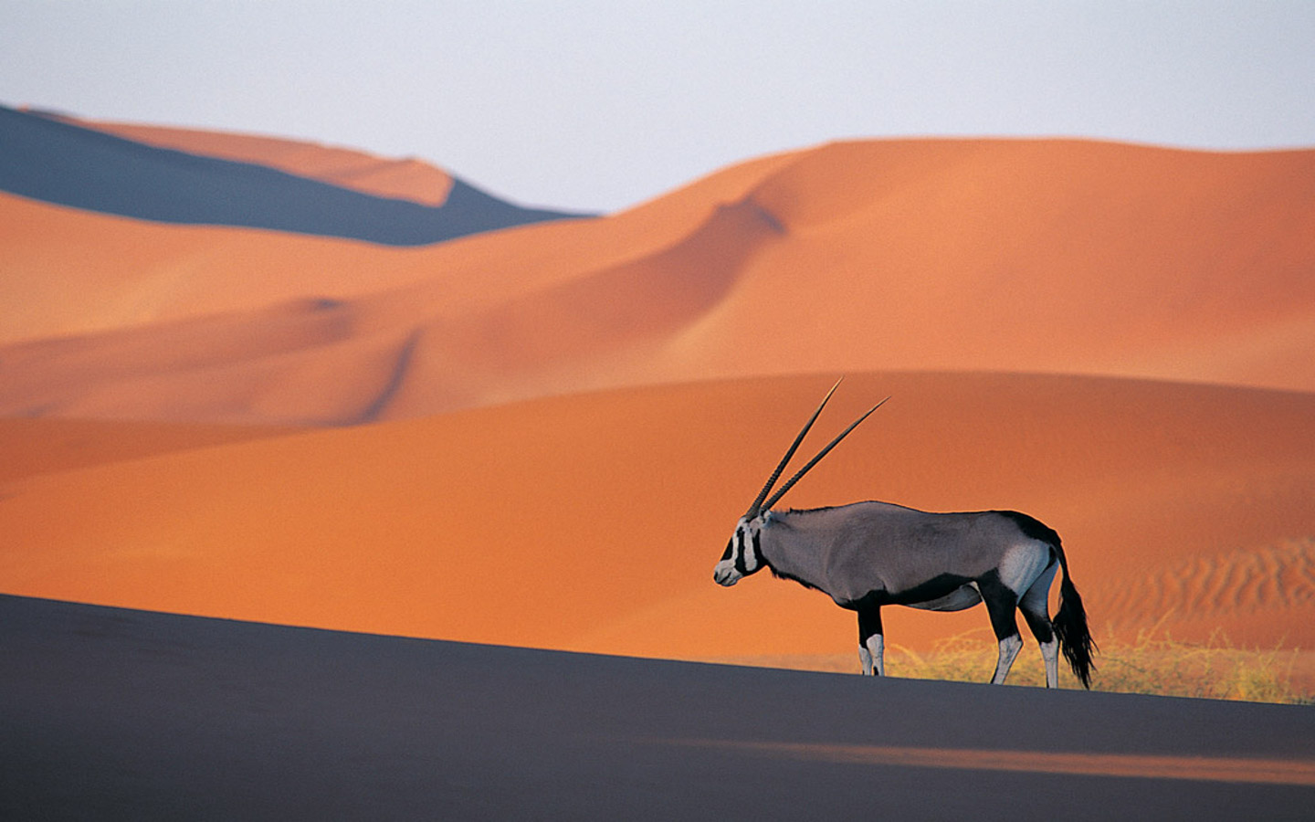 Antelope in the desert