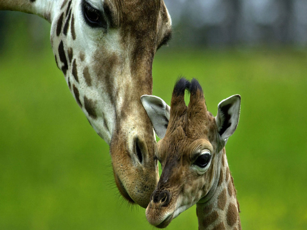 Giraffe with baby