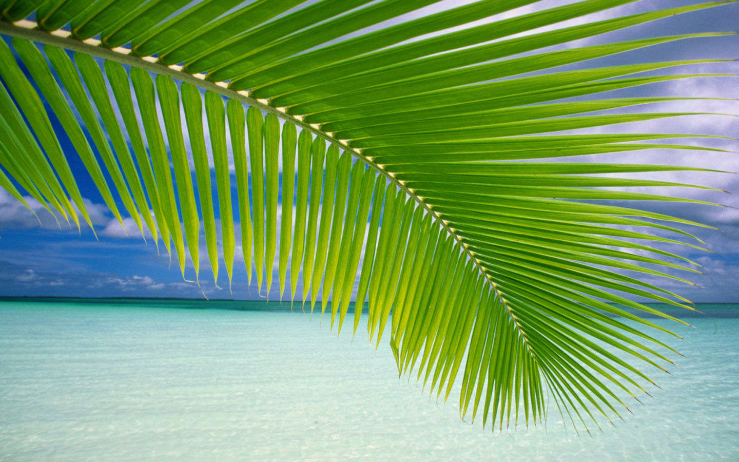 Maldives Palm