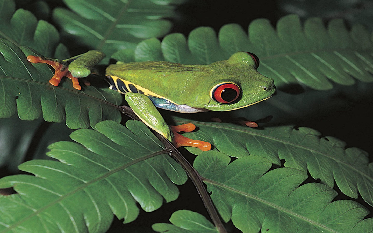 Green Frog